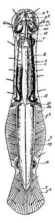 Chaetognatha is a phylum of predatory marine worms that are a major component of plankton worldwide, vintage line drawing or engraving illustration. Çizim