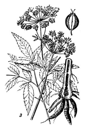 Cicuta, commonly known as water hemlock and its height is a maximum of 2.5 meters (8.2 feet) tall, vintage line drawing or engraving illustration.