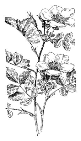 A picture, that's showing a smooth rose plant. The flowers are small and very smooth and simple leaves. This is from Rosaceae family, vintage line drawing or engraving illustration. 向量圖像