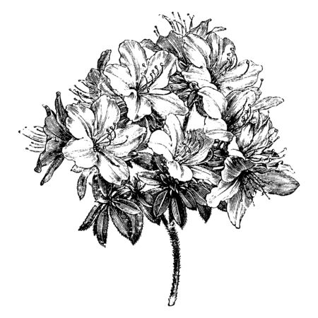 Azalea Ledifolia is a genus of Rhododendron. It is evergreen shrub, with thick, dark-green leaves and clusters of white flowers in summer, vintage line drawing or engraving illustration. Vektorgrafik