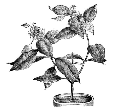 It is a Mussaenda Macrophylla planted in flower pot. It is known as sweet root and native to Asian countries like China, Taiwan, Nepal etc., vintage line drawing or engraving illustration.