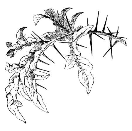 The image of a leaf of nightshade plant (Solanum atropurpureum), vintage line drawing or engraving illustration.