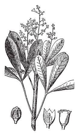 Caoutchouc is an elastic substance that is obtained by coagulating the milky juice of tropical plants (as of the genera Hevea and Ficus) and is prepared as sheets and then dried, vintage line drawing or engraving illustration.