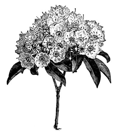 An illustration of flowering branch of Kalmia Latifolia is also called as calico bush. The flowers color is pink to white and grow in acidic soils, vintage line drawing or engraving illustration.