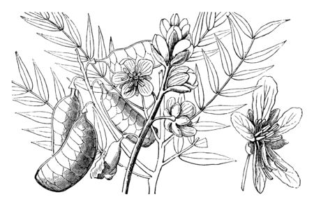 A picture shows Flat Bean and Flowering Branch of Alexandrian Senna plant. A member of the pea family and is one of the most extensively collected species of desert medicinal plant, vintage line drawing or engraving illustration. 일러스트