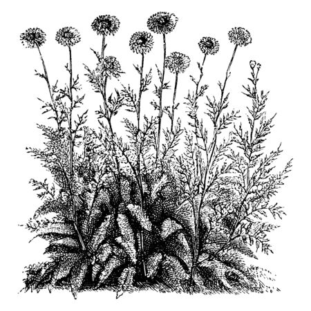 A picture is showing Pyrethrum Roseum Flore-Pleno. It has solitary pink flowers with yellow disks, vintage line drawing or engraving illustration.