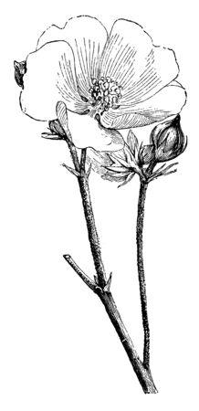 A picture shows Althaea Officinalis Flower and Bud. Its leaves are small, flowers have a delicate blush color, and the root have been used as medicine In chinese. It is also called as marshmallow, vin
