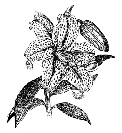 This is a picture of a flower called Golden Rayed Lily, these flowers have ivied white-colored and there are many different central bands of many dark purple spots. These flowers bloom in warm weather, vintage line drawing or engraving illustration.