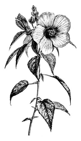 Picture shows the flowering part of Hibiscus Roseus plant. Leafs are small in size and have heart shape. Flowers have five petals and also showing the bud part, vintage line drawing or engraving illus 일러스트