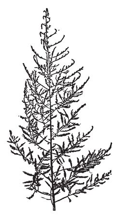 Asparagus is known as sparrow grass. It is grown from 1-year-old plants, which are planted in early spring as soon as the soil can be worked, vintage line drawing or engraving illustration.