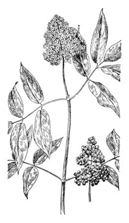 A picture is showing Red-Berried Elder, also known as Sambucus Racemosa. It belongs to Honeysuckle family. Its fruits are small and red berry. Flowers are small and have five petals, vintage line drawing or engraving illustration.