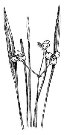 A picture shows Narrow-Leaved Arrowhead Plant. Leaves are narrow long-linear, grass-like leaves. Flowers are present with 3 petals, it has Pollain grains inside the flower, vintage line drawing or engraving illustration.  イラスト・ベクター素材