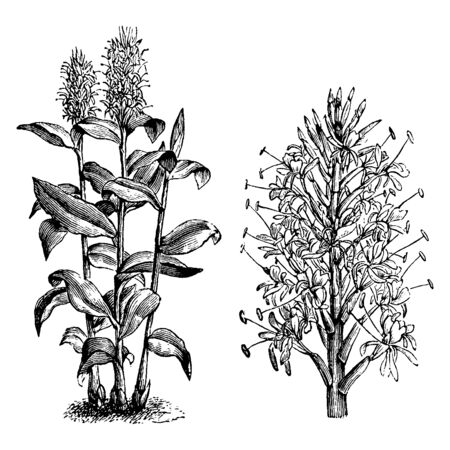 Hedychium gardnerianum is a plant native to the Himalayas in India, Nepal, and Bhutan. It grows to 8 ft. tall with long, bright green leaves clasping the tall stems. The leaves are planted in two rows, vintage line drawing or engraving illustration. Stock Vector - 132881782