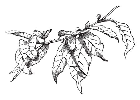 A tree, Coffea arabica, of the madder family, the principal species of coffee cultivated in Latin America and the chief coffee tree of commerce, vintage line drawing or engraving illustration.
