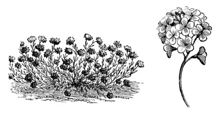 The flowers of Aethionema Cordifolium are small and the leaves are crowded. It is also known as dwarf horse chestnut, vintage line drawing or engraving illustration. Ilustração