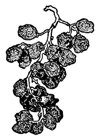 A picture is showing the bunch of Raisins. Raisins are dried grapes, vintage line drawing or engraving illustration.