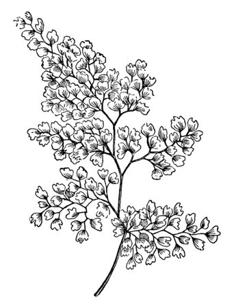 A picture of Maidenhair Fern. It is easy to grown indoors in pots or hanging baskets, vintage line drawing or engraving illustration.