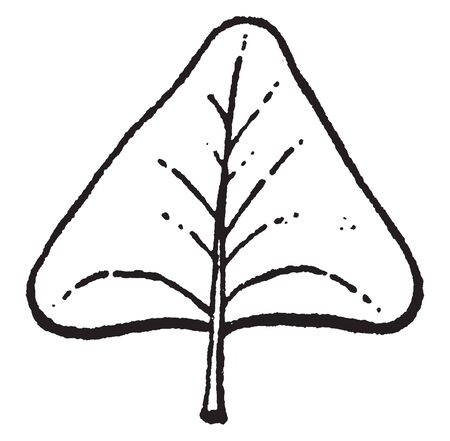 In this picture there is a deltoid. This deltoid is triangular like the Greek letter delta and the bottom two corners of this leaf are often rounded off, vintage line drawing or engraving illustration.