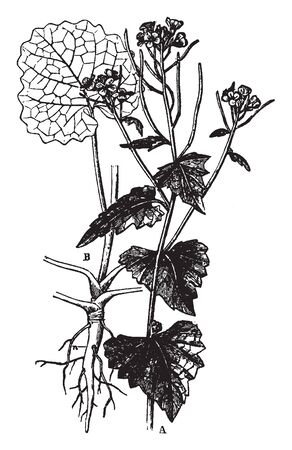 This is a branch of a Hedge Garlic and it is a belongs to a Mustard family.It is a flowering plant, vintage line drawing or engraving illustration.