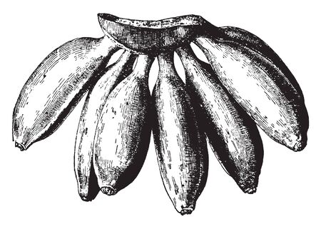 This is edible fruit with nutritional values. It tastes like fig, vintage line drawing or engraving illustration.