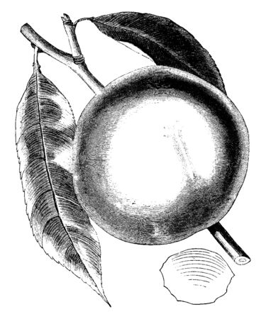An image of a President Peach. The peach is a deciduous tree. It is mostly found in Northwest China between the Tarim Basin, vintage line drawing or engraving illustration.