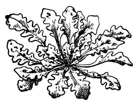 Wild cabbage is a species in the Brassicaceae. It is native from southern and western Europe, vintage line drawing or engraving illustration.