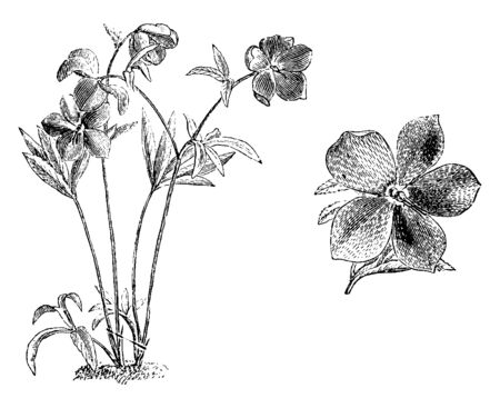 Commonly known as hellebores, the Eurasian genus Helleborus consists of approximately 20 species of herbaceous in the family Ranunculaceae. These flowers are Green with pink dotted seals, vintage line drawing or engraving illustration. Ilustração