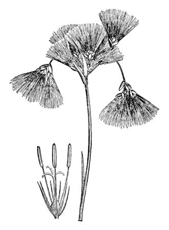In this image the seed heads are covered in a fluffy mass of cotton. Cottongrass is a genus of flowering plants, vintage line drawing or engraving illustration.