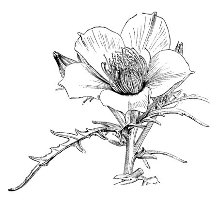 Flower have five petal, petal is thing and bright. Two or more flower growing on each stem, vintage line drawing or engraving illustration.