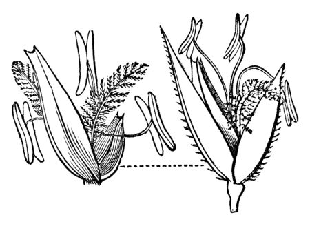 This is parts of Readtop Loucusta grass and Size of all a part are shown in this image, vintage line drawing or engraving illustration.