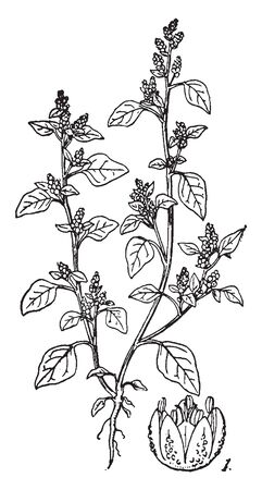 Chenopodium also known as Lambsquarters is a medicinal plant, used as a food crop mainly in northern India, vintage line drawing or engraving illustration. 일러스트