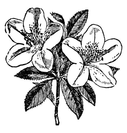 An Azalea is small tree, shrub of flower. Flowers grow only one bloom per stem. The leaves are below the flower, vintage line drawing or engraving illustration.