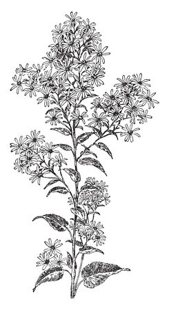 A lower leaves long, heart shaped and Upper leaves are small and ovate shape. The individual flower heads are composed of a ring, vintage line drawing or engraving illustration. Ilustrace