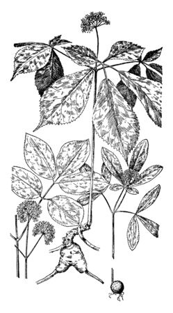 This picture belongs to the Ginseng family, in which it is shown in the Wild Sarsparailla, in the middle of the pentadus cubquifolium and in the right Dwarf Ginseng is shown, vintage line drawing or engraving illustration. Ilustracja
