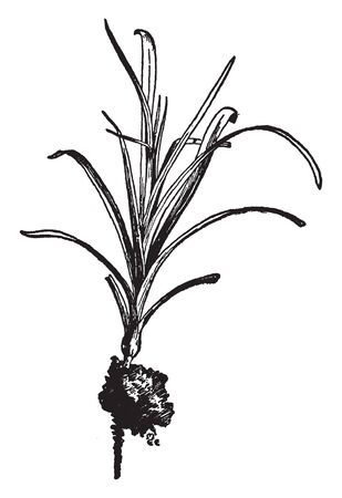 A picture, that's showing the plant of Carnation which is well rooted and strongly cut, vintage line drawing or engraving illustration.