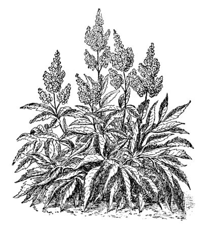Astilbe plants have long blooming; they have alternate compound leaves, flower cluster grown on tall stalk, vintage line drawing or engraving illustration. 일러스트
