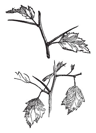 The picture of thorns of crataegus genus of shrubs and trees in the family Rosaceae. Crataegus is native to temperate regions of the Northern Hemisphere in Europe, vintage line drawing or engraving illustration.
