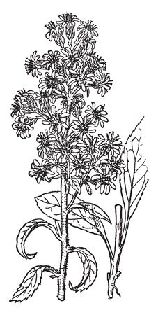 British Golden-rod is an herbaceous perennial plant and it is often grown as an ornamental in flower gardens, vintage line drawing or engraving illustration. Imagens - 132881452