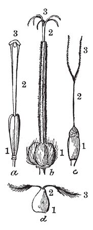 This image is showing a pistil example. The image is showing a Different shaped of pistil. It is shows a parts of pistil. This image shows an ovary, stigma, style, vintage line drawing or engraving illustration.