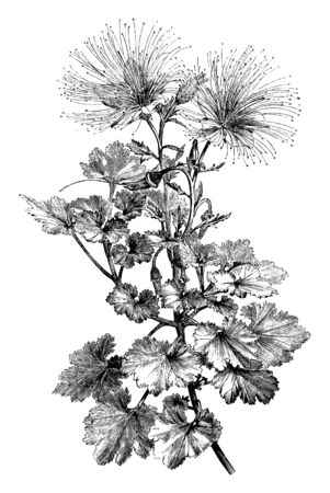 Picture is a flower plant named Mentzelia Bartonioides, whose sulfur is yellow petals and below the sediment. Flowers are alone on the edge of the plants and these flowers bloom in the summer season, vintage line drawing or engraving illustration. Ilustração