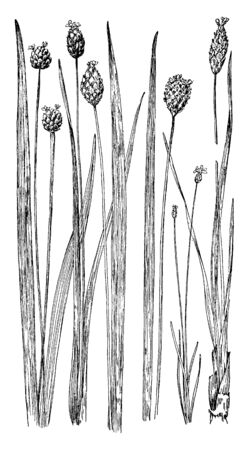 Yellow-Eyed Grass is a perennial herb up to 100 cm (40 inches) tall with narrow leaves up to 50 cm (20 inches) long and yellow flowers, vintage line drawing or engraving illustration. Reklamní fotografie - 132901929
