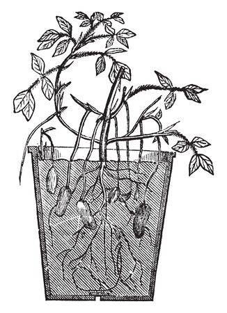 This picture shows Arachis Plant. The peanut or groundnut is a species in the family Fabaceae. After pollination, the flower stalk elongates, causing it to bend until the ovary touches the ground, vintage line drawing or engraving illustration.
