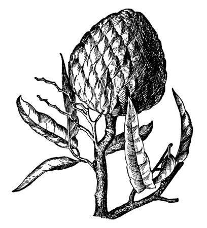 This fruit commonly named as Custard Apple. The fruit is sweet and pleasant. It is a small deciduous, vintage line drawing or engraving illustration. Illustration