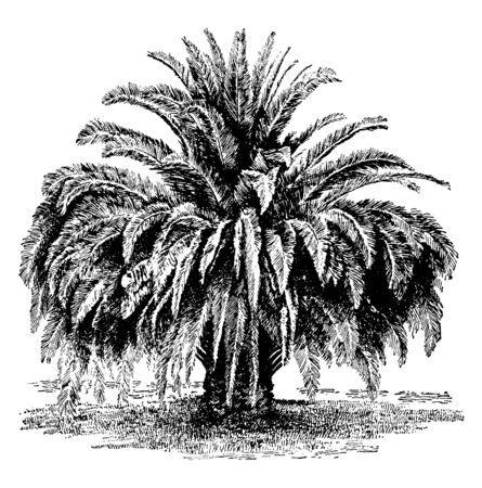This is Phoenix Canalensis tree which is one of the most valuable palms, vintage line drawing or engraving illustration.