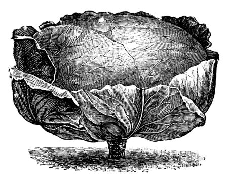 This is the short-stem drumhead and it is a type of cabbage. Short-stem drumhead is a large-headed savoy cabbage, vintage line drawing or engraving illustration.