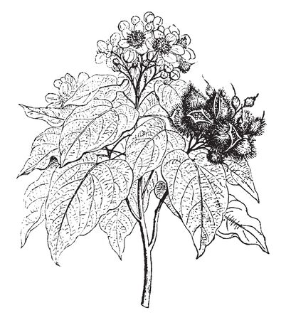 A picture shows Arnotto Plant. Leaves are pale green, heart shaped, having fine lines on it. Its nonedible red fruits, having hairy fibers and the seeds are used as a dye. A flower has pale pink color, vintage line drawing or engraving illustration. Stok Fotoğraf - 132879689