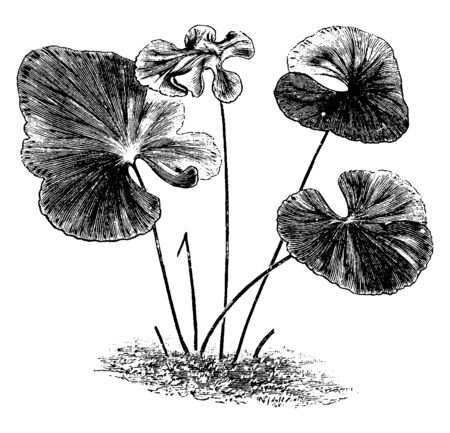 This is Lindsaya Reniformis plant. Its Leaves are flat, multilobed, and circular-shaped and it is looks like a lotus-leaf. Stem is thin, fiber-tabular, vintage line drawing or engraving illustration. Stock fotó - 132901939