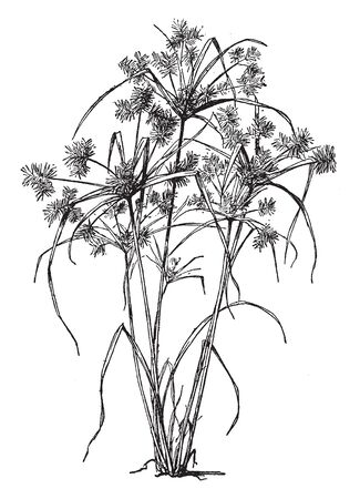 Cyperus esculentus is the common name of Chufa which is a tropical or subtropical plant. The tubers of the plant are edible, vintage line drawing or engraving illustration.