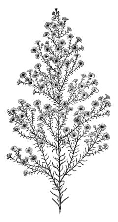 The plant flower daisy type flower. Leaves are liner and not stalk, they grown on branch. The size of the flower is smaller but they densely, vintage line drawing or engraving illustration.