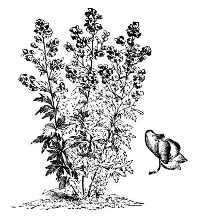 The image is showing an Aconitum Variegatum Habit and his Flower. The flowers are grown in clusters, vintage line drawing or engraving illustration.